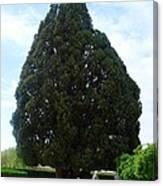 Iran Yazd Cedar Tree Canvas Print