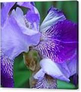 Iris 30 Canvas Print