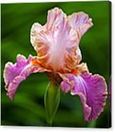 Iris 5 Canvas Print