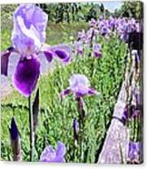 Iris Along Fence - Country - Flower Canvas Print