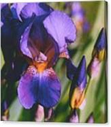 Iris Bloom Canvas Print