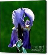 Iris Blues Canvas Print