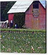 Iris Field And Barn Canvas Print