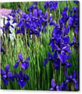 Iris In The Field Canvas Print