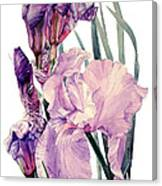 Watercolor Of An Elegant Tall Bearded Iris In Pink And Purple I Call Iris Joan Sutherland Canvas Print