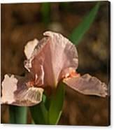 Iris Peach Rose 1 Canvas Print