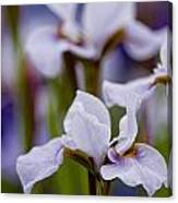 Iris Pictures 195 Canvas Print