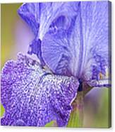 Iris Purple Pepper Canvas Print