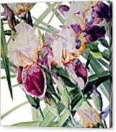 Watercolor Of Tall Bearded Irises I Call Iris Vivaldi Spring Canvas Print