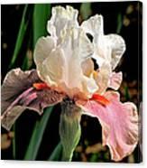 Iris White To Pink Canvas Print