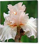 Iris With Dewdrops Canvas Print