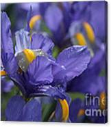 Iris With Raindrops Canvas Print
