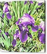 Irises In The Garden Canvas Print