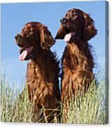 Irish Red Setter Dog Canvas Print