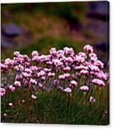 Irish Sea Pinks Canvas Print