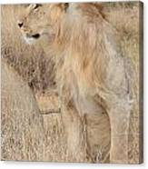 Isolated Lion Staring Canvas Print