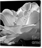 Isolated White Tulip Canvas Print