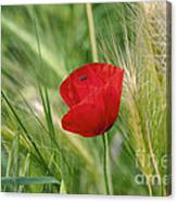 Italian Poppy Canvas Print