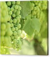 Italian Spumante White Grapes Canvas Print