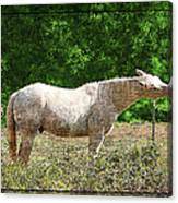Itchy Horse Canvas Print