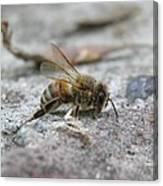 It's A Hard Life Little Bee Canvas Print