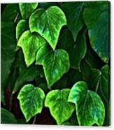 Ivy Leaves Canvas Print