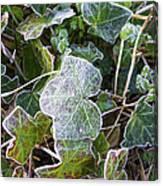 Ivy Leaves Canvas Print