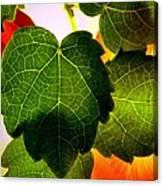 Ivy Light Canvas Print