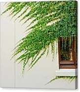 Ivy - Window Covered By Creeping Ivy. Canvas Print