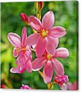Ixia Flower Canvas Print