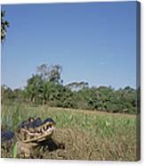 Jacare Caiman In Marshland Pantanal Canvas Print