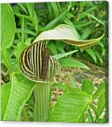 Jack In The Pulpit - Arisaema Triphyllum Canvas Print