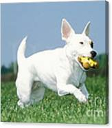 Jack Russell Terrier Dog Canvas Print