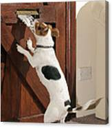 Jack Russell Terrier Gets Paper Canvas Print