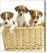 Jack Russell Terrier Puppies Canvas Print
