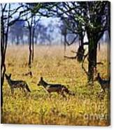 Jackals On Savanna. Safari In Serengeti. Tanzania. Africa Canvas Print