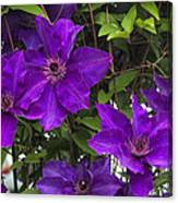 Jackmanii Purple Clematis Vine Canvas Print
