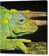 Jacksons Chameleon Male East Africa Canvas Print