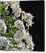 Jade Plant Flowers Canvas Print