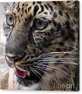 Jaguar-09498 Canvas Print
