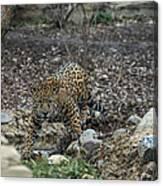 Jaguar 4 Canvas Print