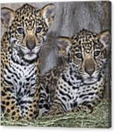 Jaguar Cubs Canvas Print
