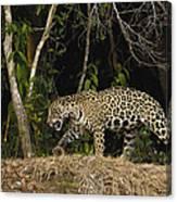Jaguar Cuiaba River Brazil Canvas Print