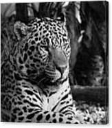 Jaguar Mono Canvas Print