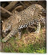 Jaguar Panthera Onca Foraging Canvas Print