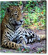 Jaguar Resting From Play Canvas Print