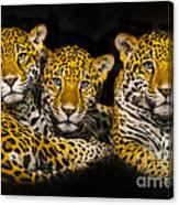 Jaguars Canvas Print