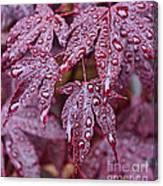 Japanese Acer Palmatum Atropurpurea Shrub Canvas Print