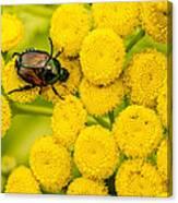 Japanese Beetle She Ruv You Ya Ya Ya Canvas Print