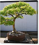 Japanese Bonsai Tree In National Canvas Print